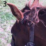 fibroblastic-sarcoid-in-horses