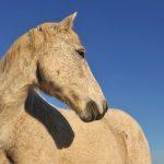 older-horse