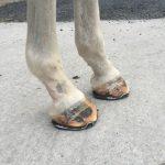 shoeing-for-laminitis