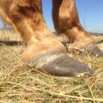 laminitis-in-horses