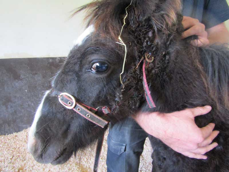 foal-with-embedded-headcollar