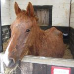 conor-the-horse-ispca