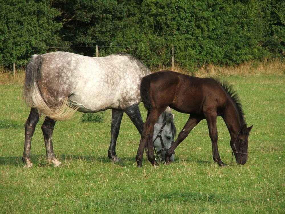 mare-&-Foal-Zoetis