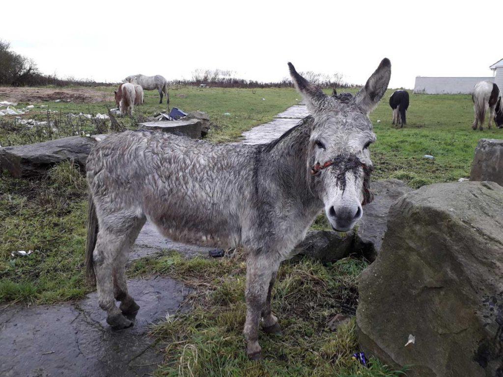 Donkey-cruelty-ISPCA